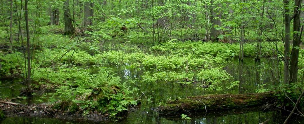 Tree and Shrub Swamp